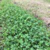 クローバー(シロツメクサ)除去大作戦 協生農法の畑